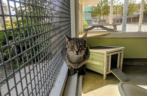 Federico - Domestic Short Hair Cat