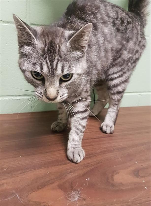 Mauve - Domestic Short Hair Cat