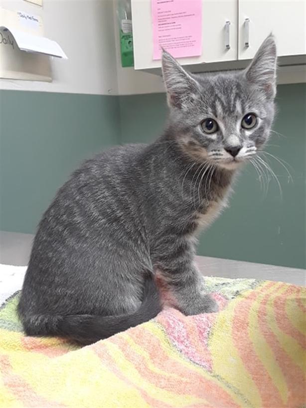 Maize - Domestic Short Hair Kitten