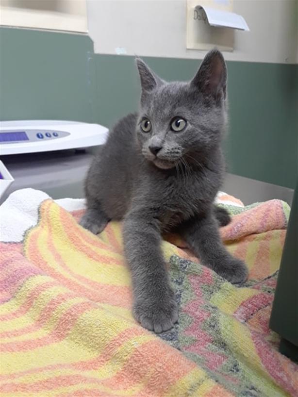 Chester - Domestic Short Hair Kitten