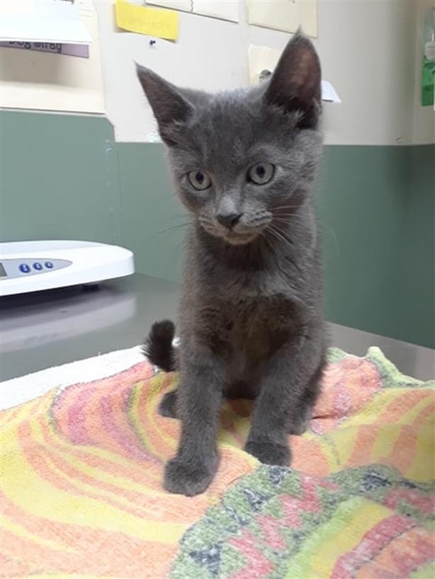Kiko - Domestic Short Hair Kitten