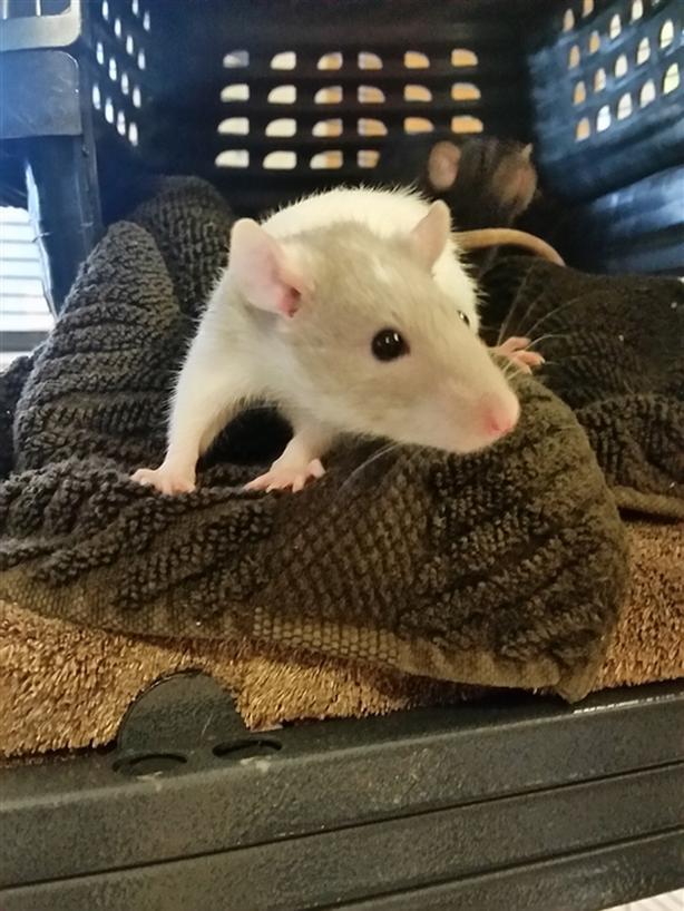 Hymnia - Rat Small Animal