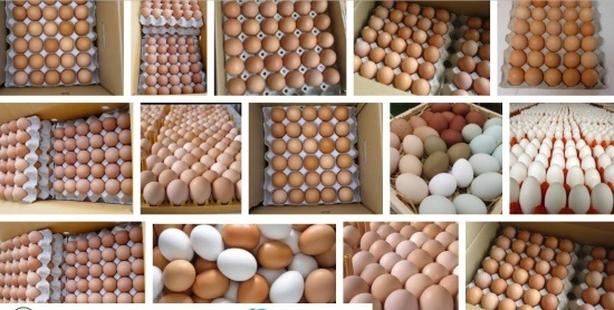 Fresh Chick eggs,chicks and chicken now Available