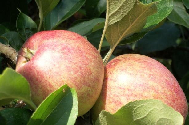 King Apples