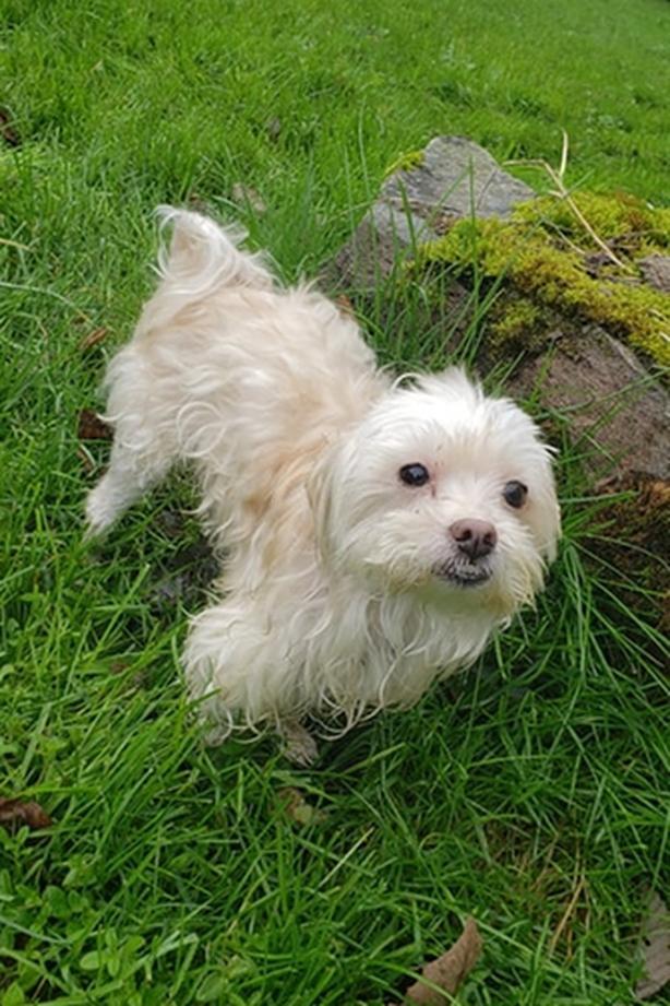 Ace - Maltese Dog