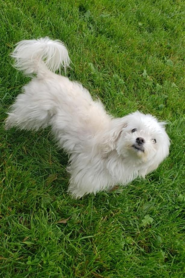 Queen - Maltese Dog