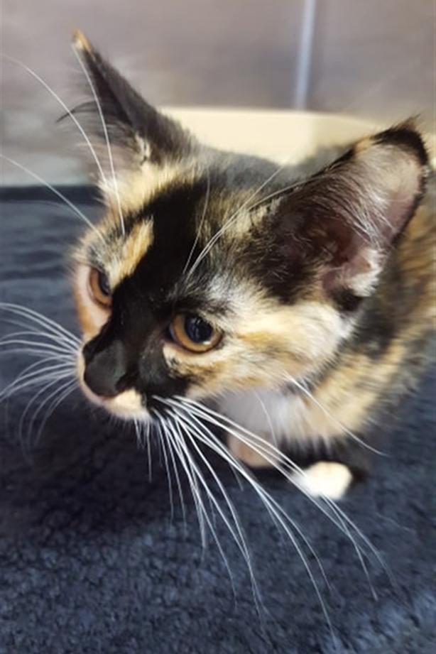 Ari - Domestic Medium Hair Kitten