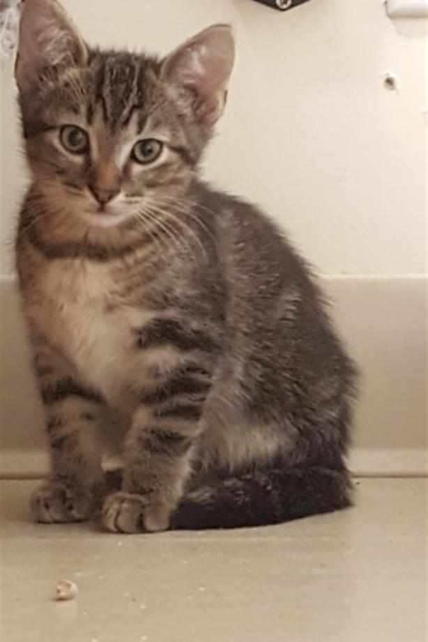 Logan - Domestic Short Hair Kitten