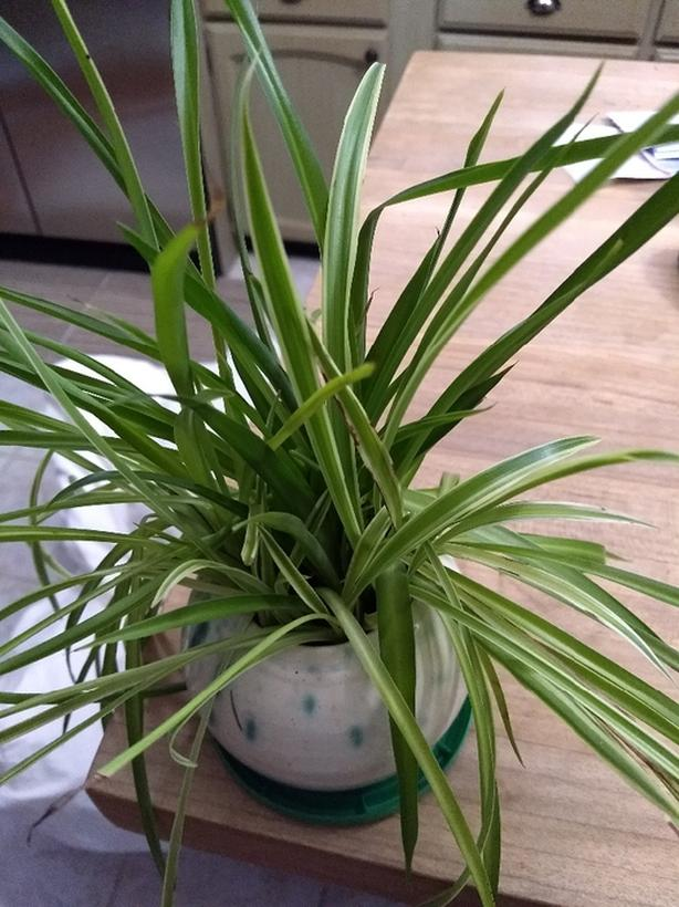 FREE: Spider plant babies