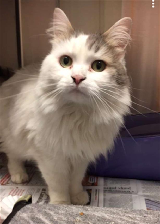 Sophie - Domestic Longhair Cat