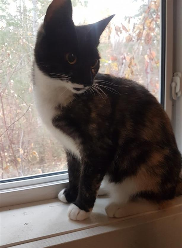 Lilly - Domestic Short Hair Cat