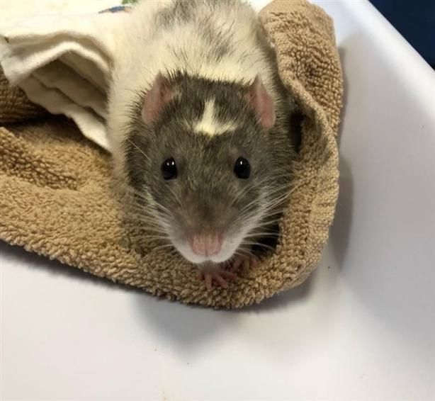 Arrow - Rat Small Animal
