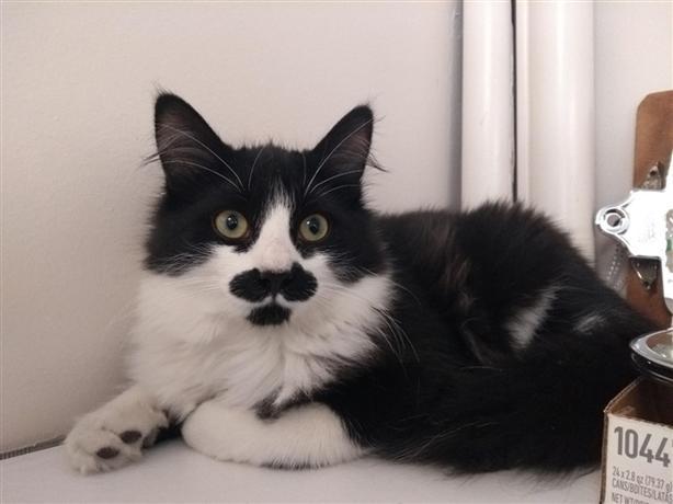 Freddie - Domestic Medium Hair Kitten