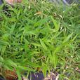 Dwarf Bamboo ( Sasa pygmaea), 4 gallon size