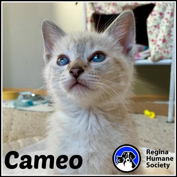 Cameo* - Siamese Kitten