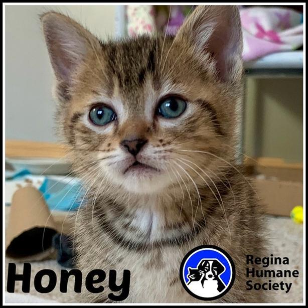 Honey* - Domestic Short Hair Kitten