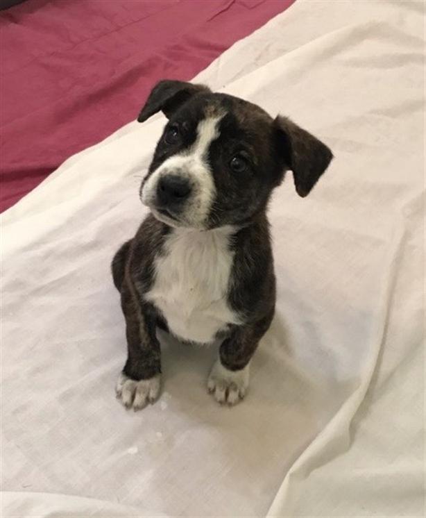 Miki - Boxer Puppy