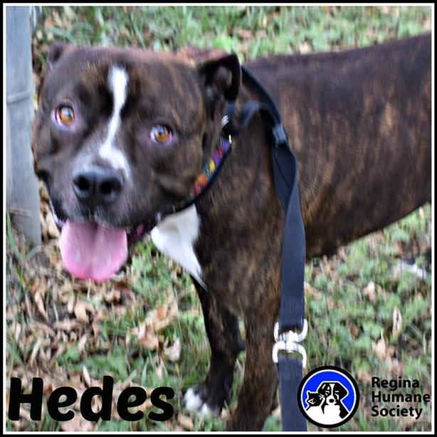 Hedes* - English Mastiff Dog