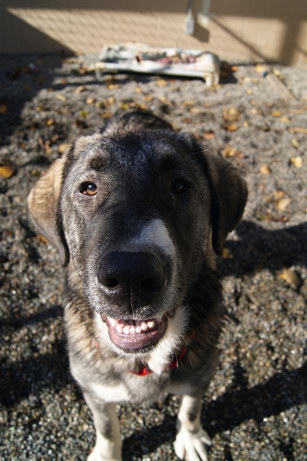 Puma - Kangal Dog Dog