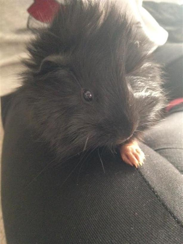 Elvis - Guinea Pig Small Animal