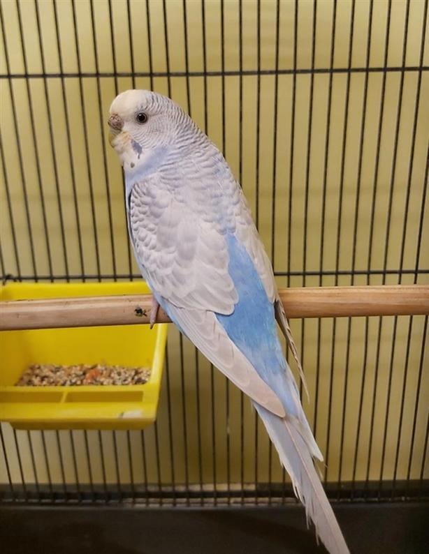 Perri - Budgie Bird - Exotic