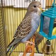 Bobbi - Budgie Bird - Exotic