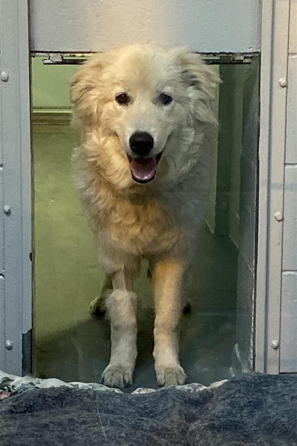 Pickles - Maremma Sheepdog Dog