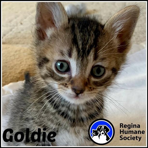Goldie* - Domestic Short Hair Kitten