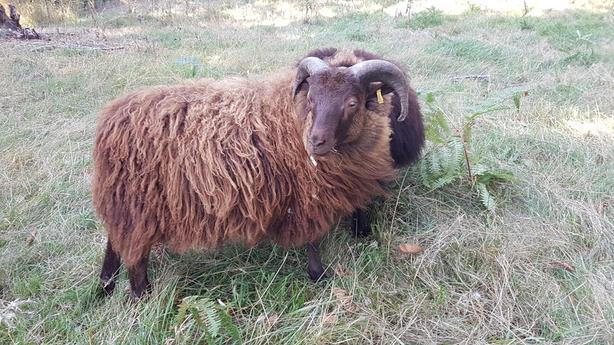 Registered Icelandic Ram