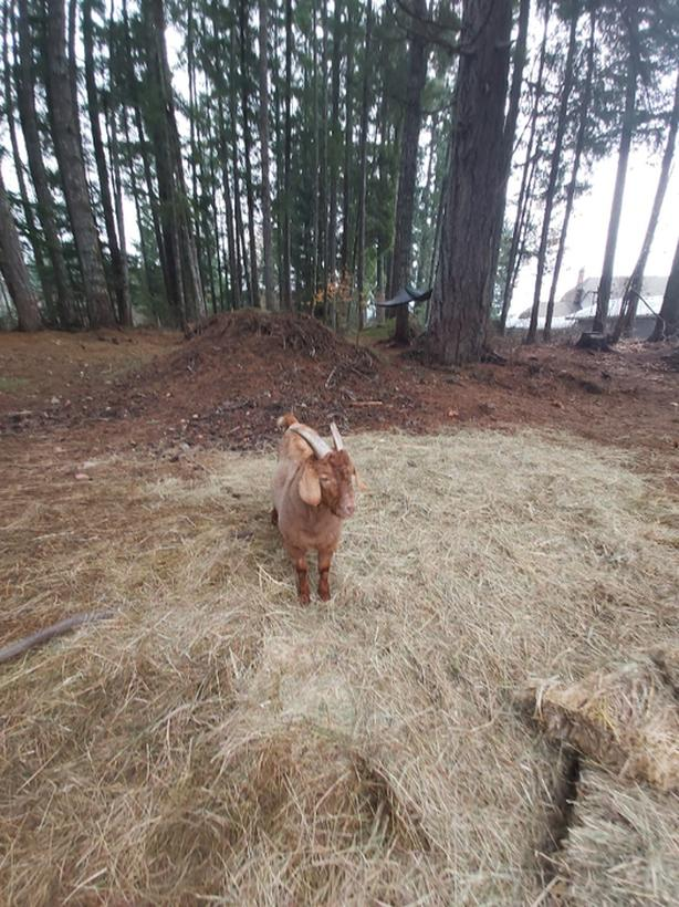 FREE: Goat, friendly intact ginger w/ horns