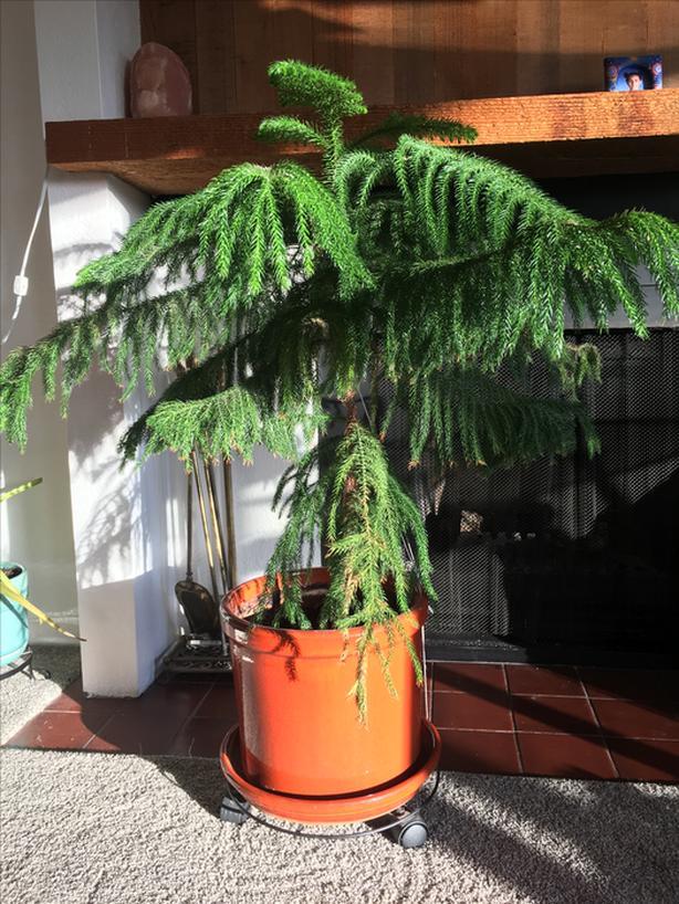 Norfolk pine houseplant