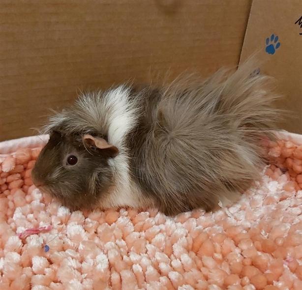 Choco - Guinea Pig Small Animal