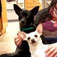 Bonded Pair of Chihuahuas