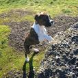 5 month old Boxer to rehome