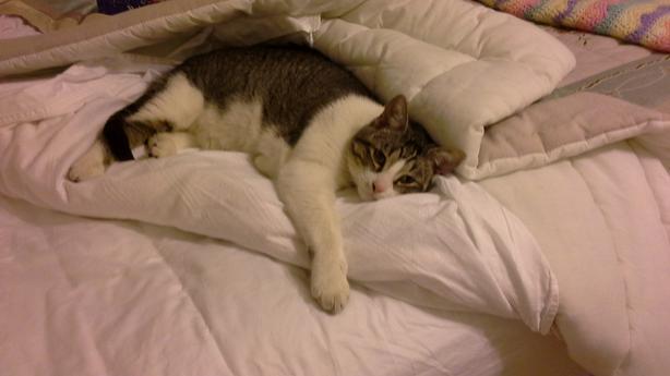 Lost cat - Reward offered for safe return