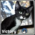 Victory* - Domestic Short Hair Kitten