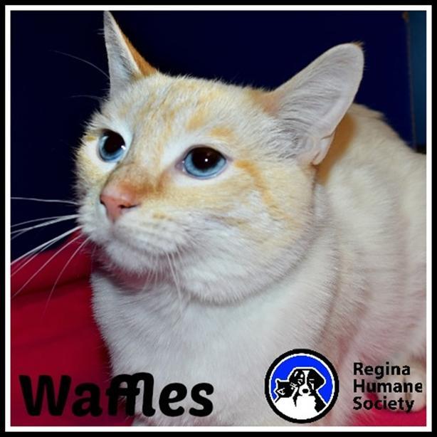Waffles - Siamese Cat