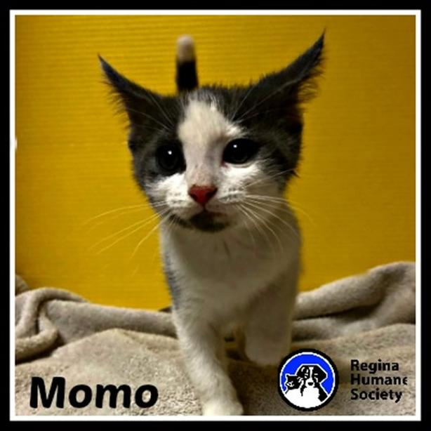 Momo - Domestic Short Hair Kitten