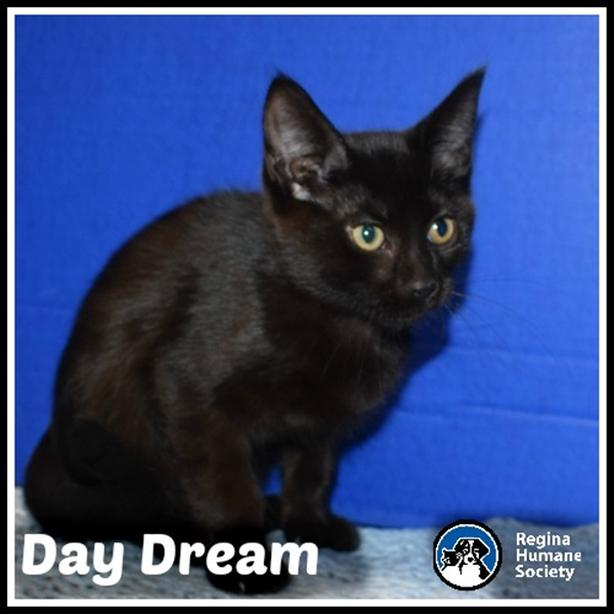 Daydream* - Domestic Short Hair Kitten