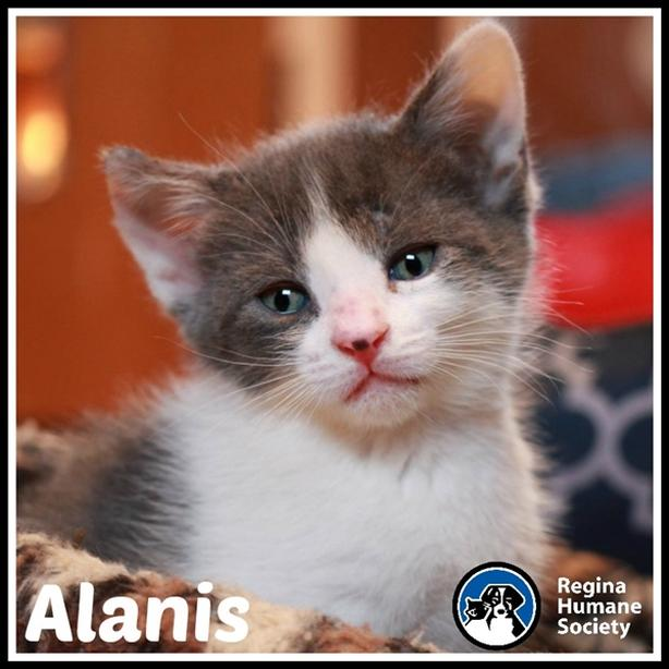 Alanis* - Domestic Short Hair Kitten