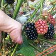 FREE: Thornless Blackberry CuttingS - Freshly cut