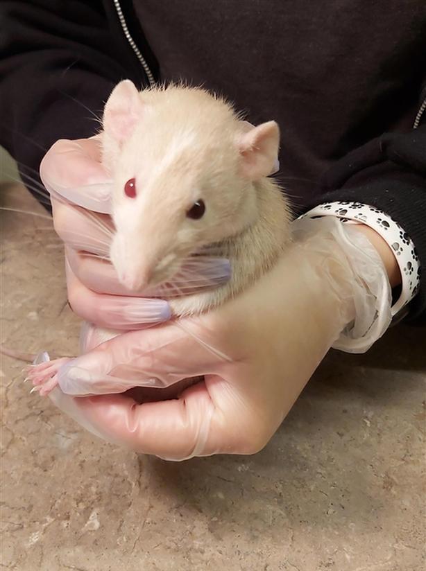 Princess Peach - Rat Small Animal