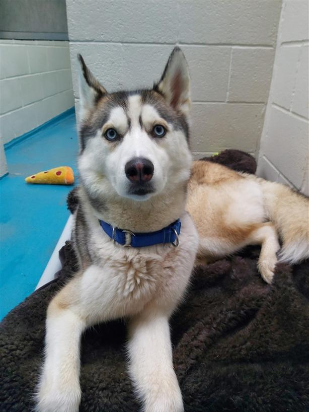 Rookie - Siberian Husky Dog