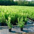 3 Year Old Blueberry Plants, Cypress Leylandii, and Western Red Cedars