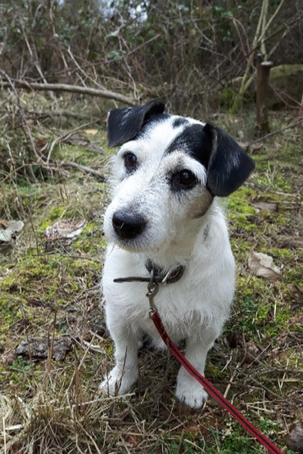 WANTED: JACK RUSSELL PUPPY