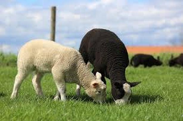 WANTED: Black ram sheep