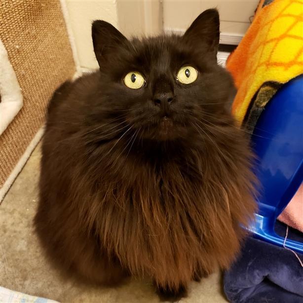 Meow - Domestic Longhair Cat