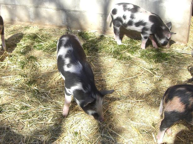 Ossabaw Piglets and Gilts for sale