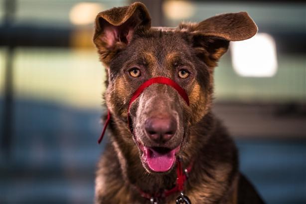 Billie * In Foster* - German Shepherd Dog