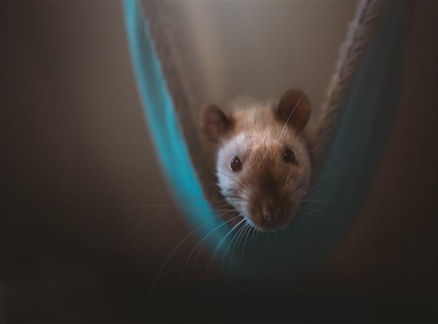 Dexter - Rat Small Animal